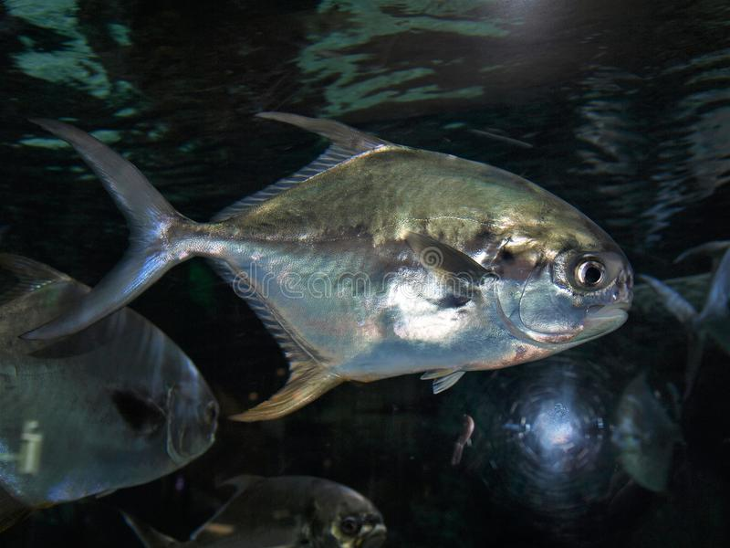 Trachinotus Carolinus de poissons de Pompano de Floride images libres de droits