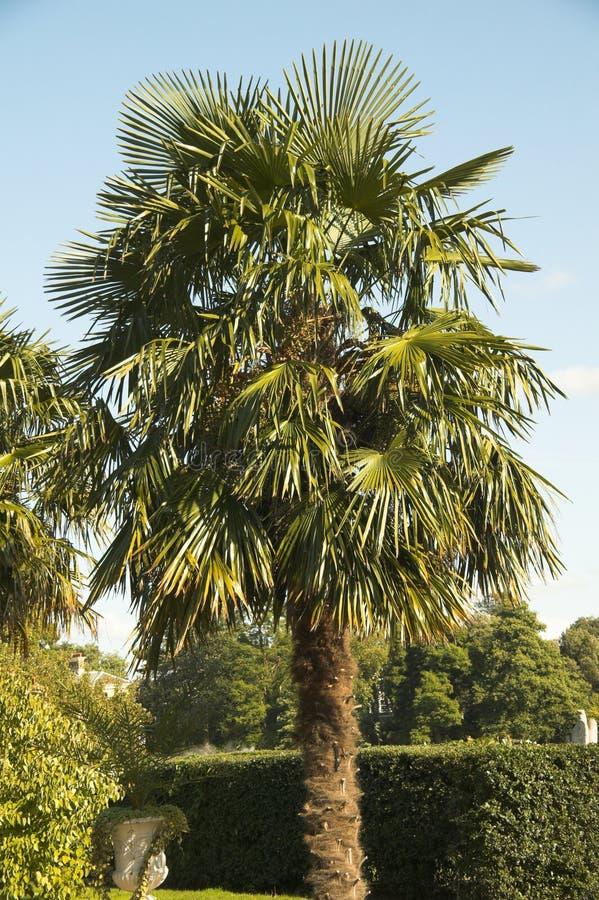 Trachycarpus Fortunei immagini stock