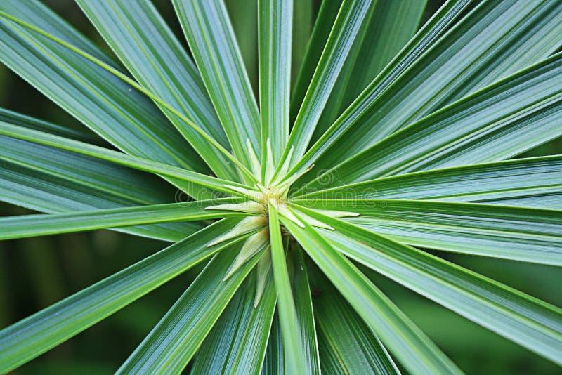 Trachycarpus Fortunei royaltyfri fotografi