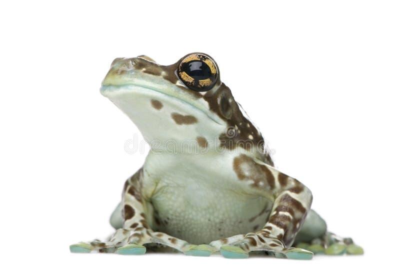 trachycephalus de resinifictrix de lait de grenouille d'Amazone photo stock