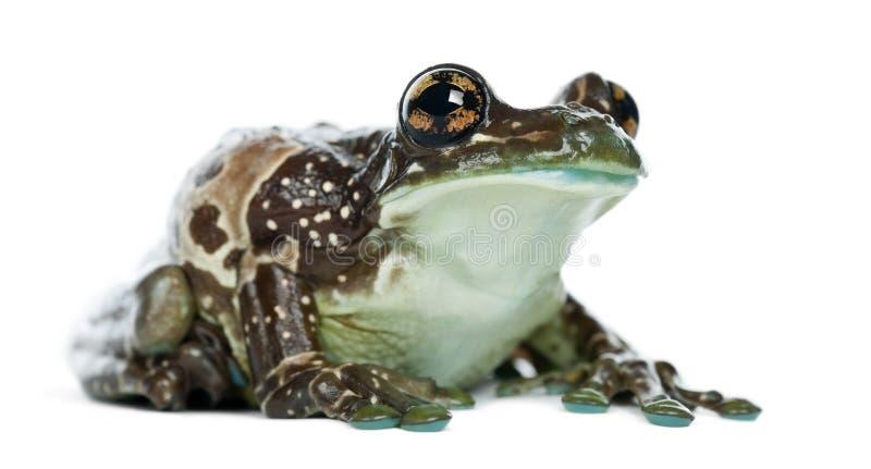 trachycephalus resinifictrix молока лягушки Амазонкы стоковые изображения