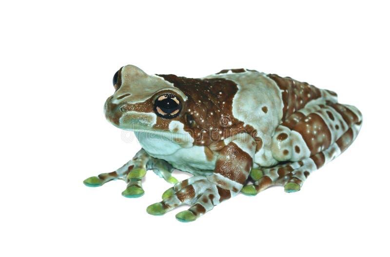 Trachycephalus resinifictrix (Harlequin frog) stock image