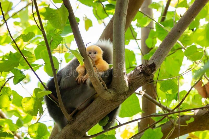 Trachypithecus-obscurus, das von hinten den Baum im Thailand-Dschungel lugt Frau des düsteren Blattaffen oder des bebrillten Lan stockfotos