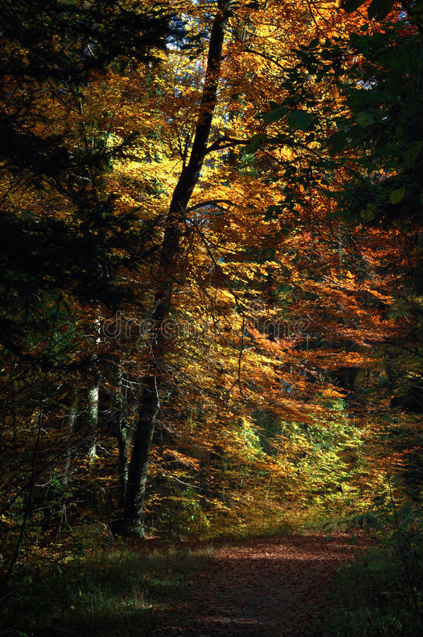 Track through Autumnal forest. Scenic view of track receding through Autumnal forest under sunlight stock photography