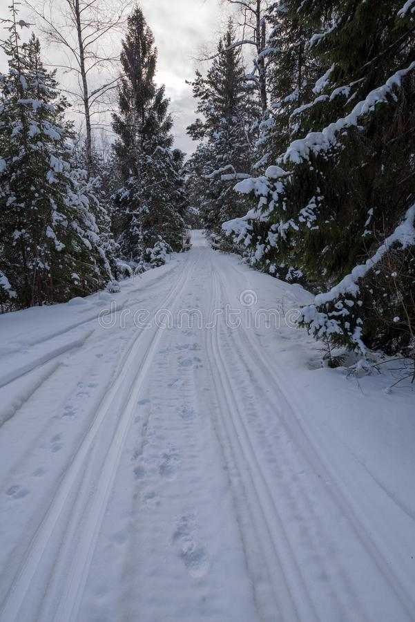 Tracks for crosscountry skiing in a swedish forest february 2018. With fir trees on the side royalty free stock images