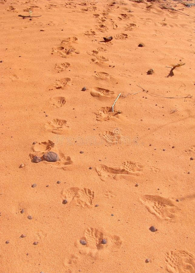 Tracks of a Desert Tortoise, Gopherus agassizii stock image