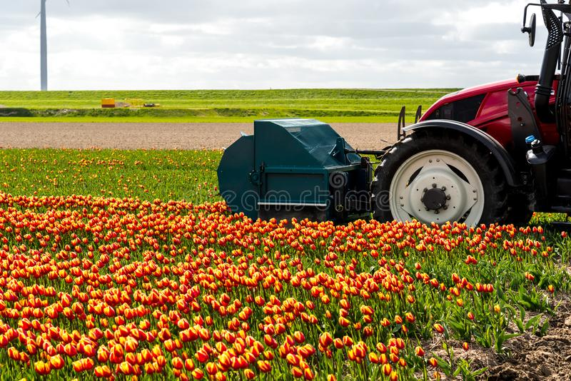 Tracteur moissonnant les tulipes sur le champ photographie stock
