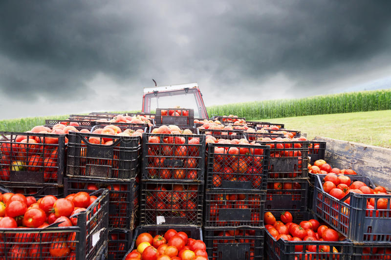 Tractor charged with crates filled by red tomatoes. To transport them to market stock images