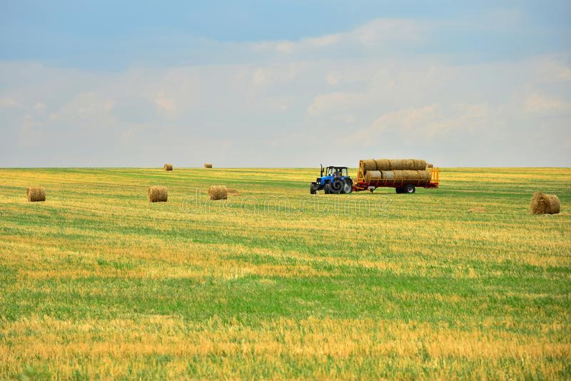 The tractor collects the hay in sheaves and takes it off the field after the mowing of the grain. Agroindustrial industry. The tractor collects the hay in stock photo