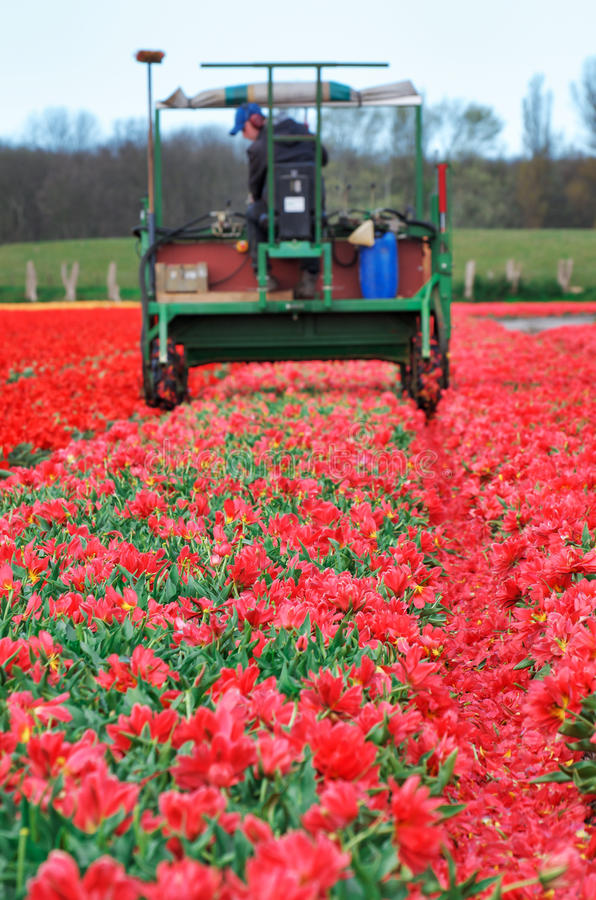 Tractor Harvest Red Tulips Stock Images