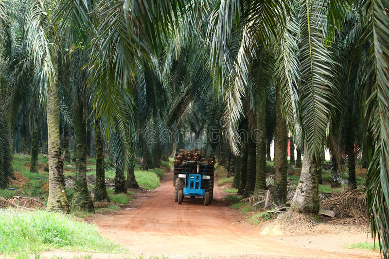 Tractor in oil palm plantation - Series 2. Tractor transporting oil palm fruits in oil palm plantation stock photography