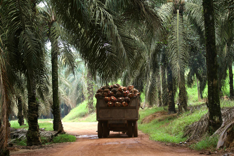 Tractor in oil palm plantation - Series 3. Tractor transporting oil palm fruits in oil palm plantation royalty free stock image