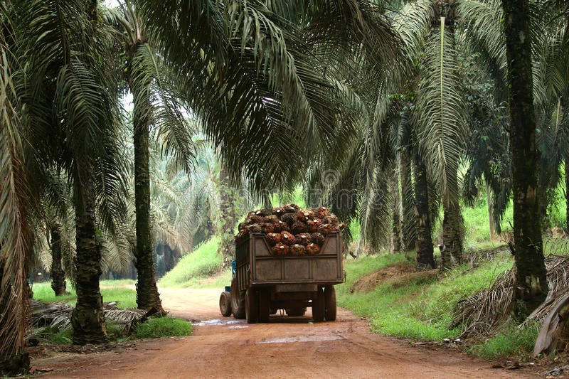 Tractor in oil palm plantation - Series 4. Tractor transporting oil palm fruits in oil palm plantation royalty free stock images