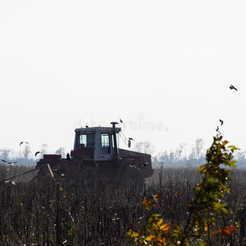 Tractor plowing a field and crows flying around him in search of stock image