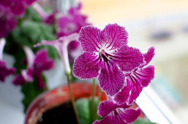 Room flower streptokarpus on the windowsill stock photo