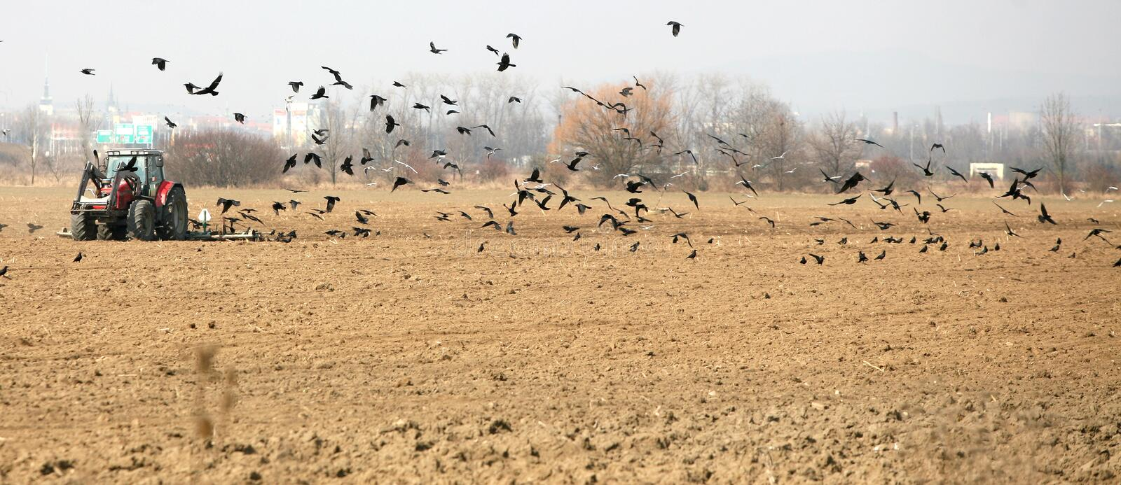 Download Tractor Sown In The Field With Ravens Stock Photo - Image: 18777150