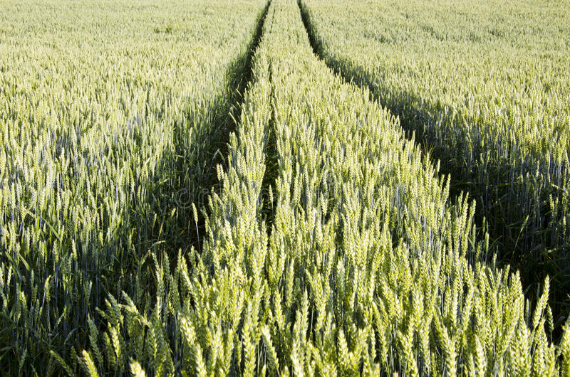 Tractor tracks left in agricultural wheat field. royalty free stock images