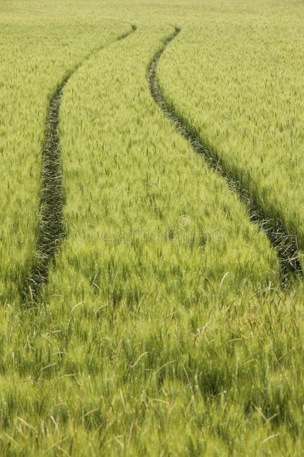 Tractor tracks in wheat field royalty free stock photography