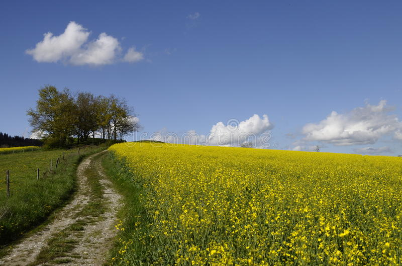 Tractor tracks and yellow field of colza. Yellow field of colza flower and tractor tracks under blue sky with clouds stock images