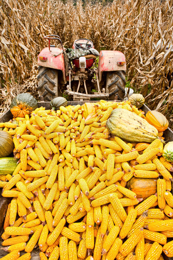 Tractor with trailer full of corn royalty free stock photography