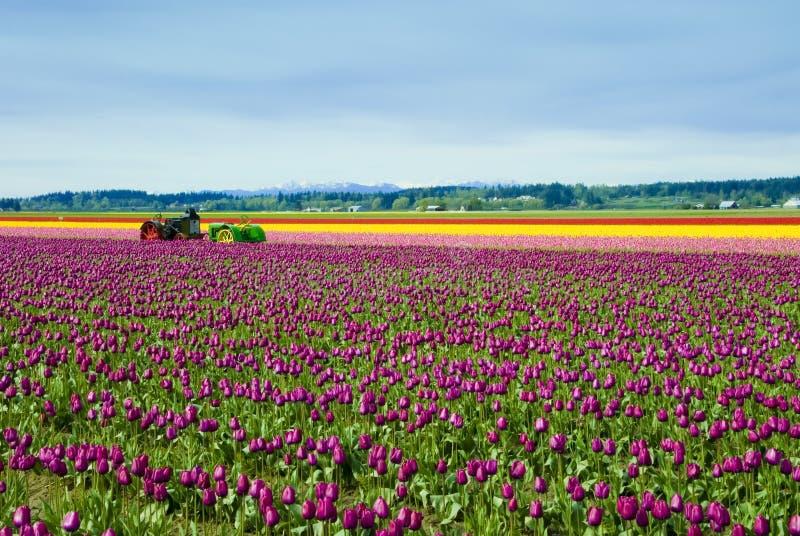 Tractoren in de Tulpen stock fotografie