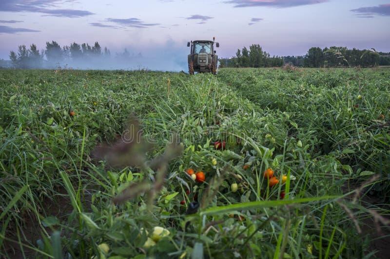 Tractorstof met met de tomatenplanten van het zwavelpoeder bij zonsondergang stock afbeeldingen