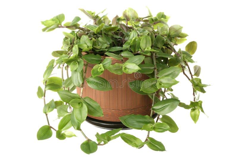 Download Tradescantia Stock Photo - Image: 9047930