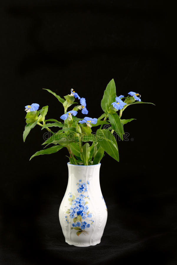 Tradescantia. Purple blue spiderwort tradescantia flowers (trillium) in the vase stock photo