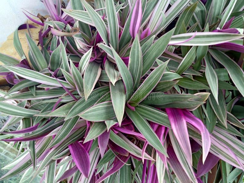 Tradescantiaspathacea, mång--färgad tradescantia i dess naturliga miljö på en klar solig dag royaltyfri fotografi