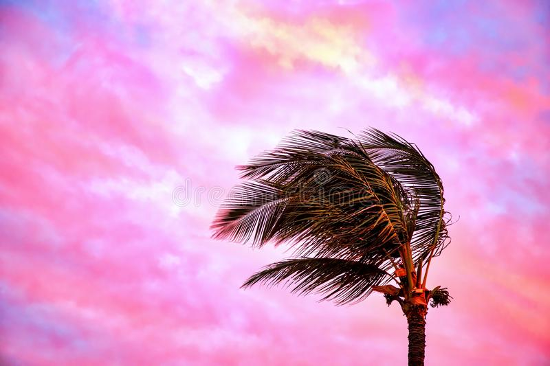 Tradewinds bending a palm tree at Sunset on the island of Maui stock images