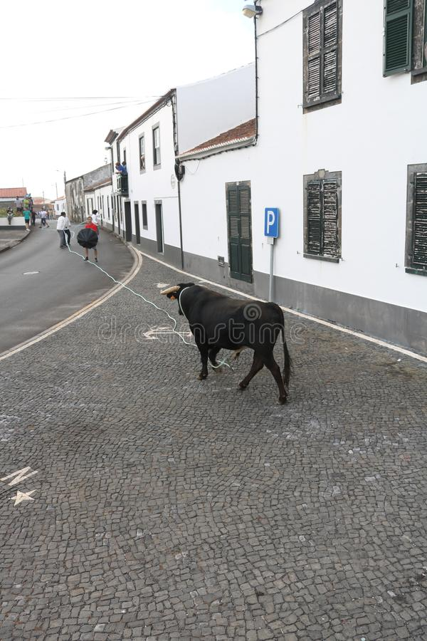 A loose bull. Traditional azores bullfighting feast. Portugal. Europe. A bull is released in a village center, Graciosa, Azores , Portugal. While several men royalty free stock images