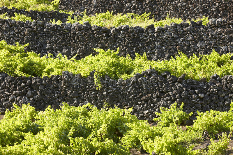 Traditional Azores landscape with volcanic rock vineyards in Pic. O island. Horizontal royalty free stock image