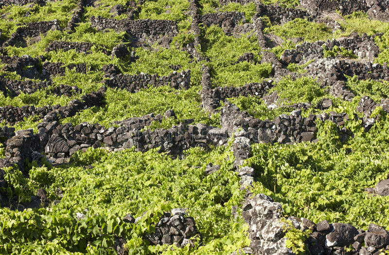 Traditional Azores landscape with volcanic rock vineyards in Pic. O island. Horizontal stock image