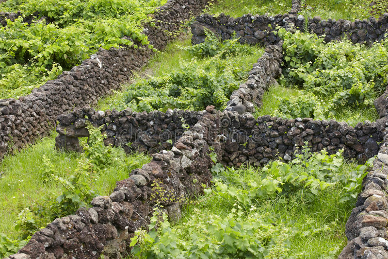 Traditional Azores landscape with volcanic rock vineyards in Sao. Jorge. Horizontal stock photo