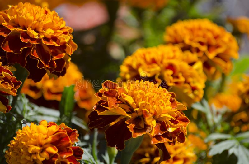 Traditional cempasuchil flowers. Used for altars at Day of the Dead in Mexico stock image