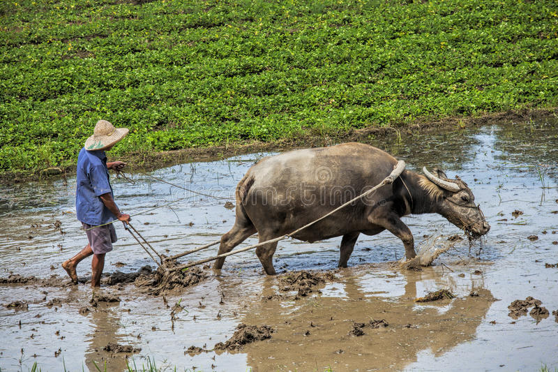 Traditional Chinese framer using an ox to plow a field for planting. Guangxi Zhuang Autonomous Region, aka Guangxi Province China royalty free stock image