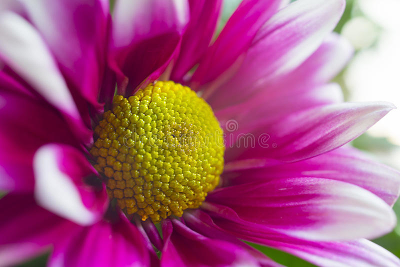 Traditional Chinese New Year Flower Stock Image - Image: 37441969