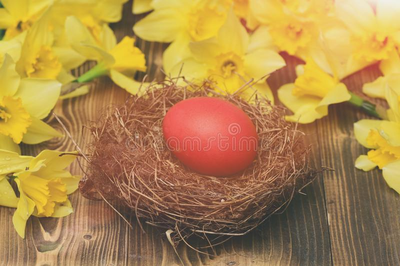 Traditional easter red painted egg in nest, spring yellow narcissus stock photo
