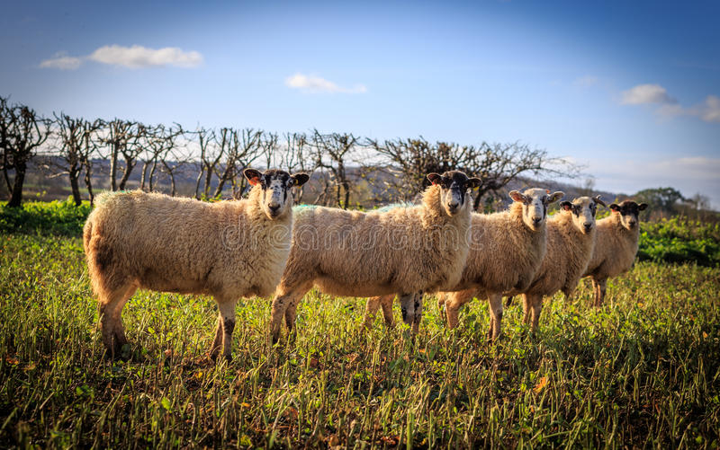 Traditional English Sheeps royalty free stock images