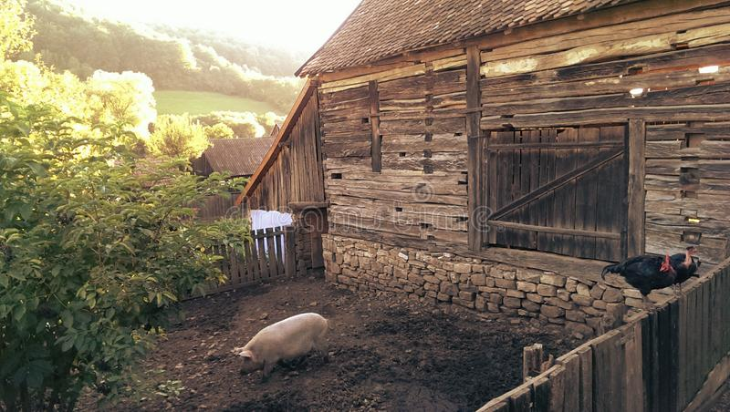 Traditional Farm in Transylvania. Traditional wooden and stone farm building in Transylvania Romania with a pig in the pen and a rooster on the fence stock photo