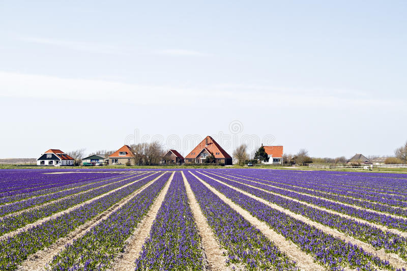 Download Traditional Farmhouses In Holland Stock Photo - Image: 36433804