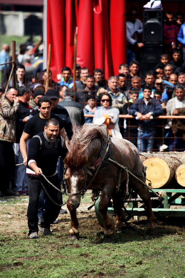 Traditional gipsy horse towing sport. VARVARA, BULGARIA - MARCH 29, 2013: Man gives courage to his horse on traditional gipsy horse towing games held each year royalty free stock photography