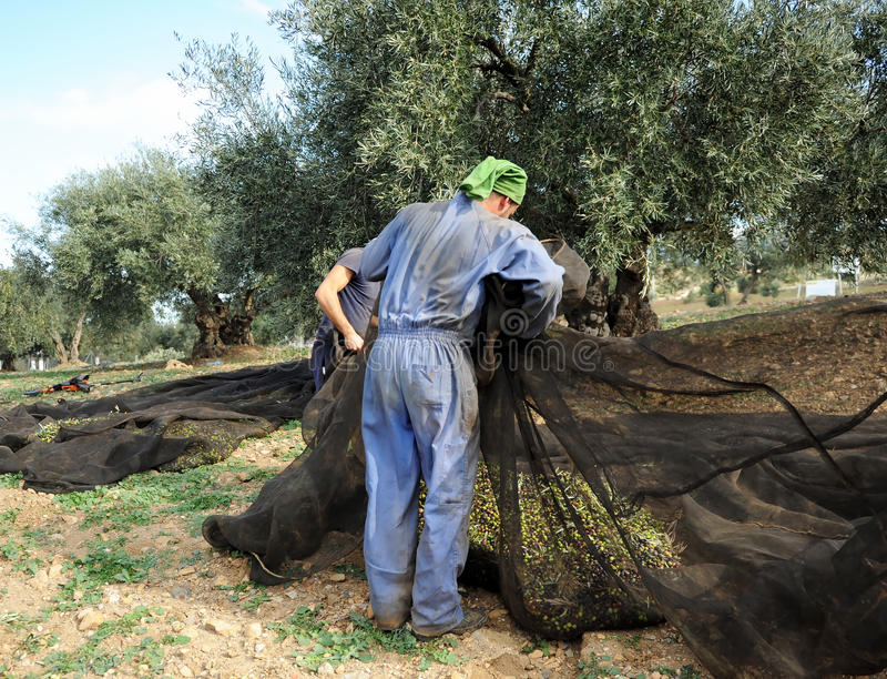 Traditional harvest of olive trees by hand in Andalusia, Spain stock photography