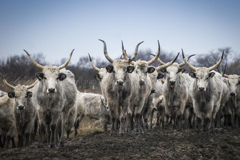 Traditional Hungarian gray beef, cattle horde stock photography