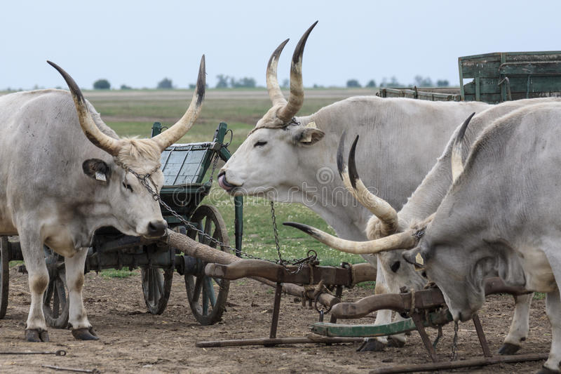 Download Traditional Hungarian Grey Steer Stock Photo - Image: 42616478