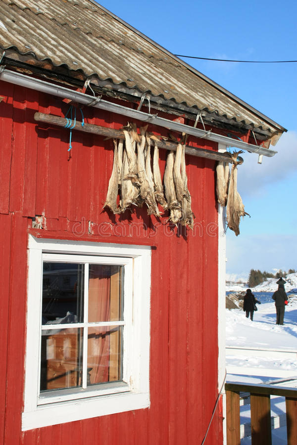 Traditional Lofoten's rorbu. Cod fish hanging to dry from a roof of a traditional Rorbu of Lofoten islands royalty free stock photos