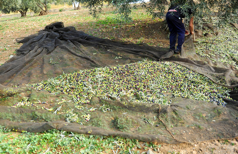 Traditional olive harvest, Andalusia, Spain royalty free stock image