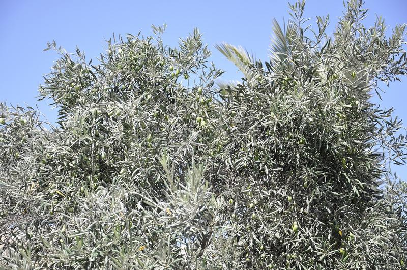 Traditional Olive tree from the picturesque Oia resort royalty free stock photo