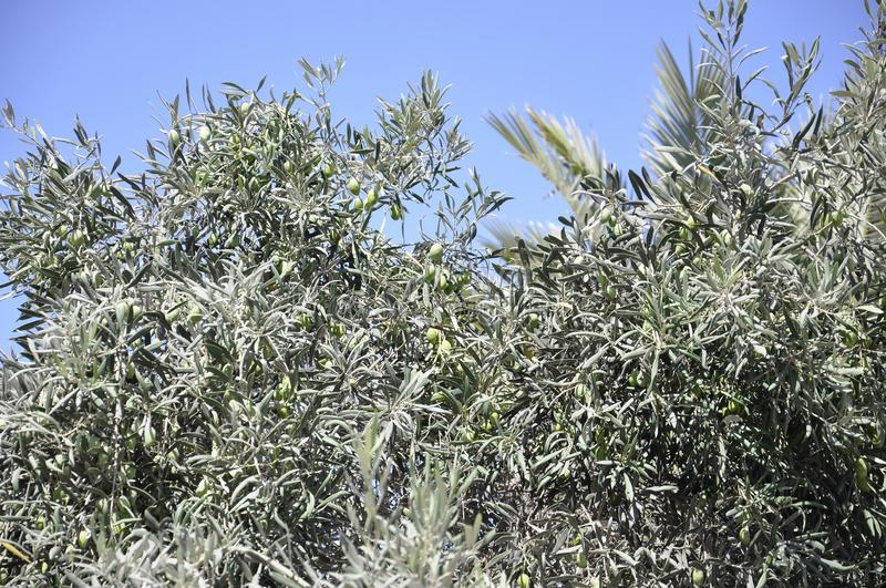 Traditional Olive tree from the picturesque Oia resort royalty free stock images