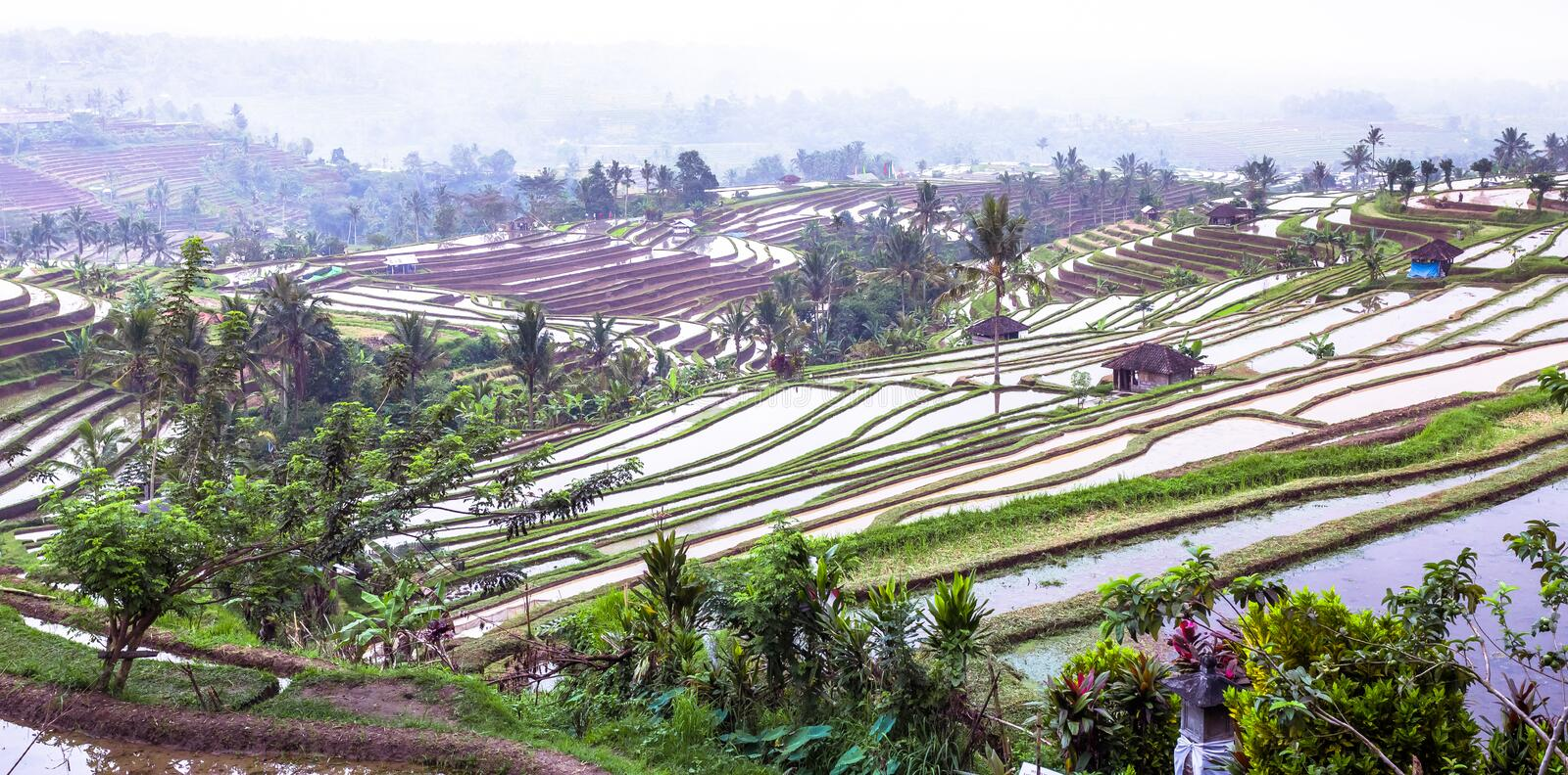 Traditional paddy field in Bali Indonesia stock photo